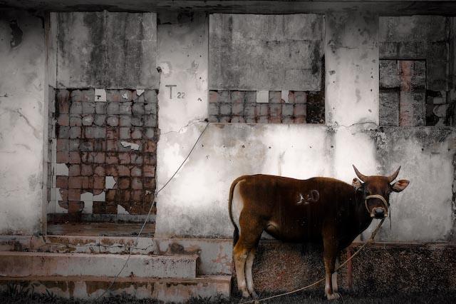 ermera-cow